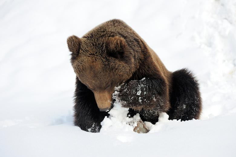 Качавшийся накачелях медведь был напривязи— руководитель ДККолпашева