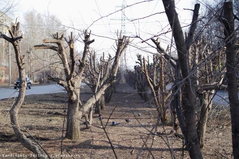 Вместо деревьев — обрубки: в Томске варварски обрезали яблоневую аллею