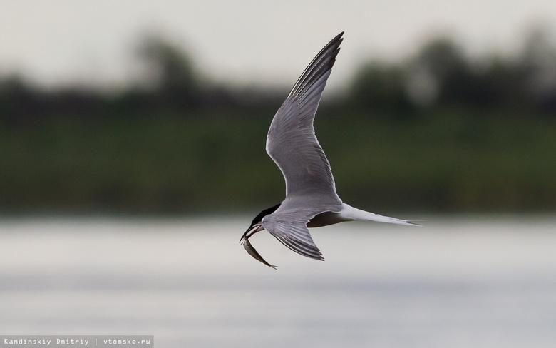 Томичей приглашают на экскурсии по наблюдению за птицами в Коларово