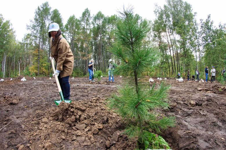 Томичи высадили две тысячи сосен около лыжероллерной трассы в Академгородке (фото)