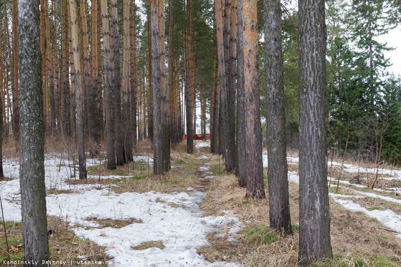 «Черные» лесорубы уничтожили 75-летние сосны в Томском районе