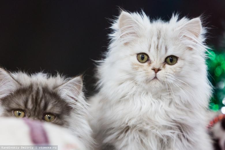 «Плюшевых аристократов» и «сибиряков» увидели томичи на выставке кошек
