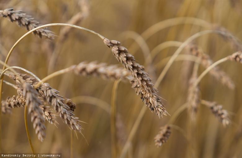 Томские аграрии в 4 раза отстают по темпам уборки урожая из-за непогоды