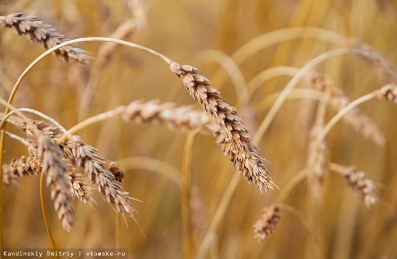 Томские аграрии повысили качество семян зерновых культур