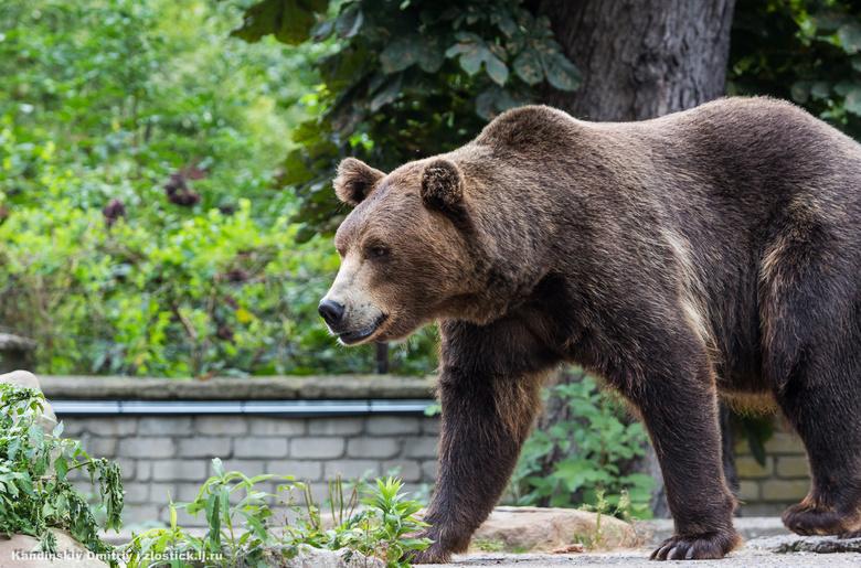 Медведь умер под колесами 2-х авто натрассе Томск— Колпашево