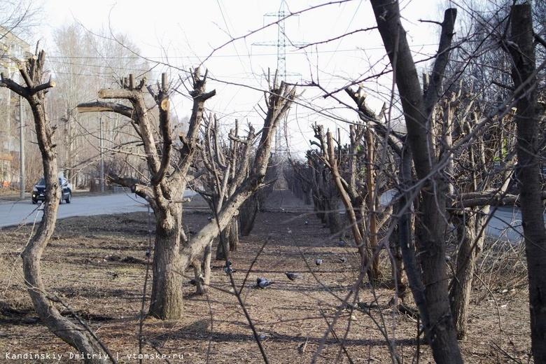 Штраф грозит компании за варварскую обрезку яблоневой аллеи в Томске