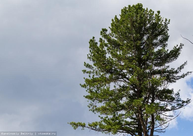 В Томской области более 1,2 тыс гектаров леса поражены союзным короедом