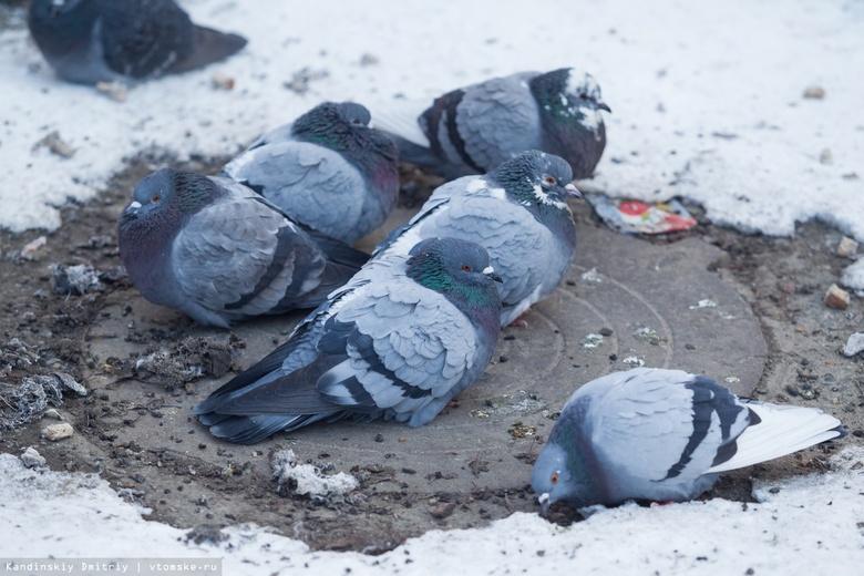 Россельхознадзор советует томичам не кормить голубей