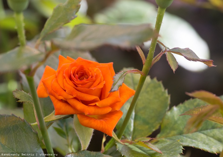 Розы и ландыши высадили на улицах Томска