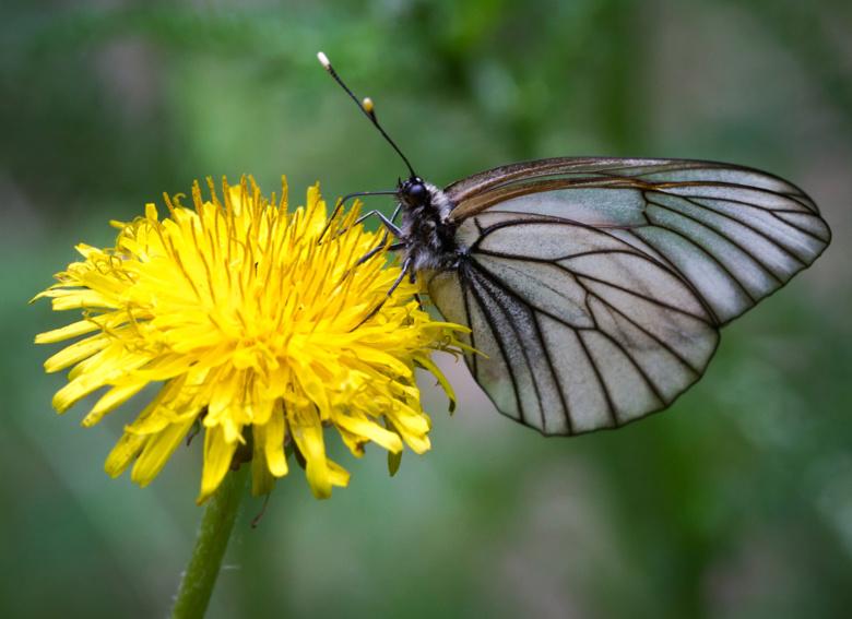 Зоолог: численность бабочек-боярышниц в Томске может кратно вырасти