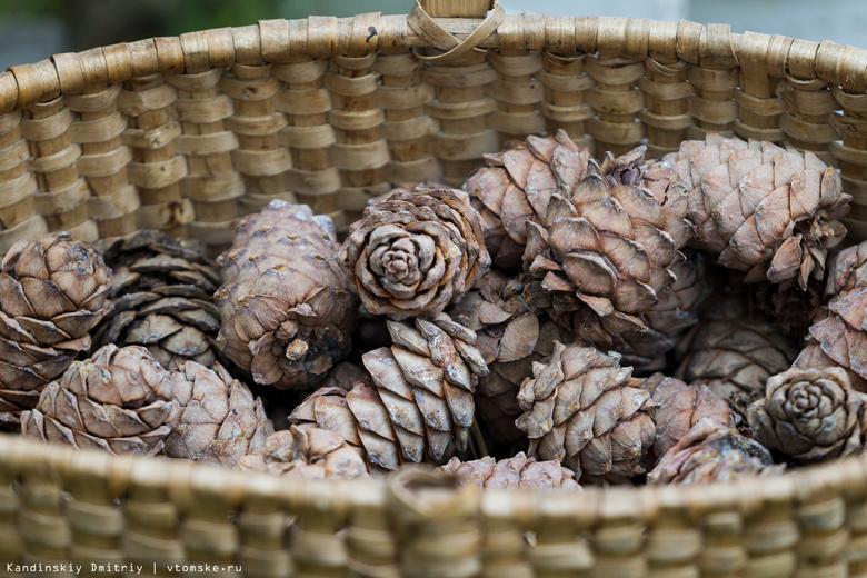 В 2016г в Томской области заготовили в 9 раз больше кедрового ореха