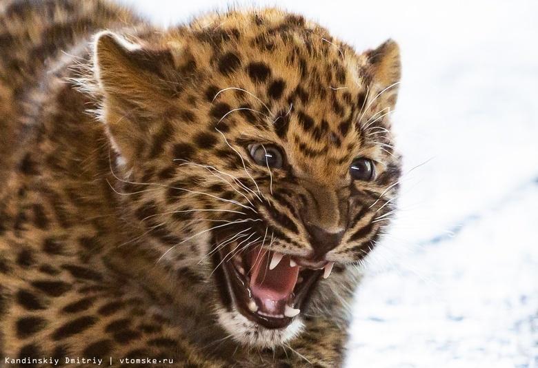 Пандемия помешала зоопарку Северска найти новый дом для двух леопардов