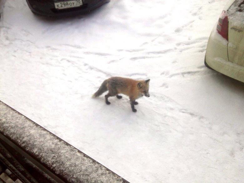 Лиса вновь была замечена на улицах Томска (фото)