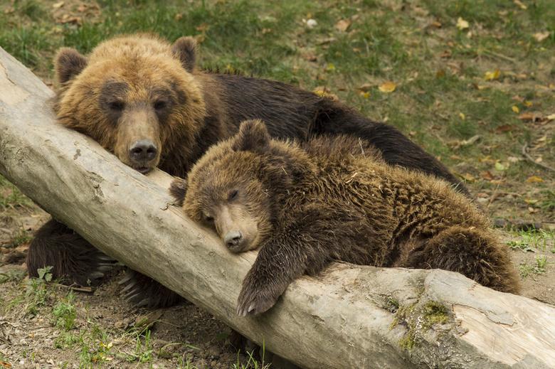 Томские охотники отстрелят медвежонка, гуляющего возле пасеки в селе Межениновка