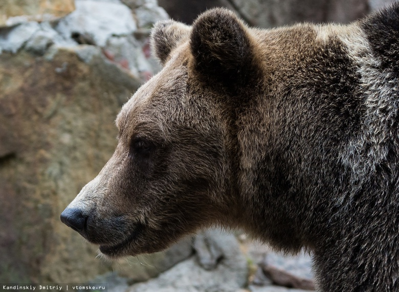 Охотники выслеживают 5 бурых медведей, появившихся вблизи домов в Томской области