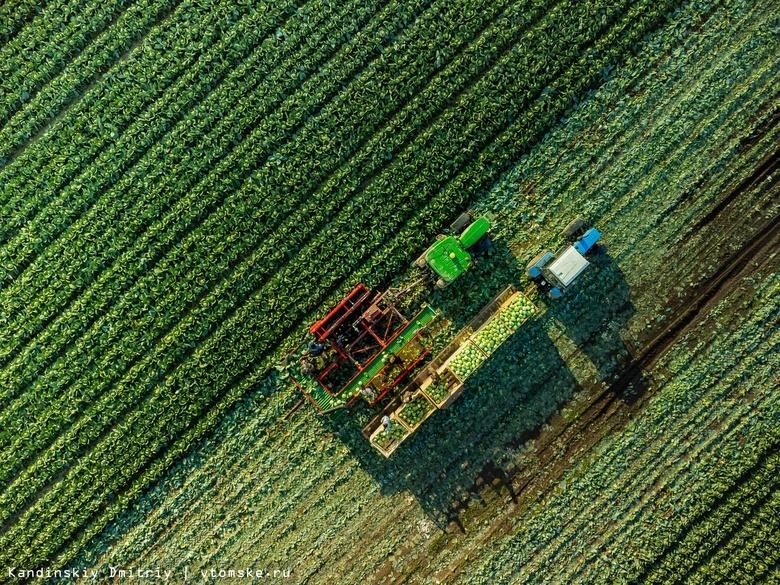 Томские аграрии вышли на уборку капусты. Мы посмотрели, как ее собирают