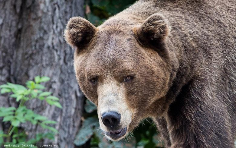 Двое бурых медведей задрали теленка в Томской области