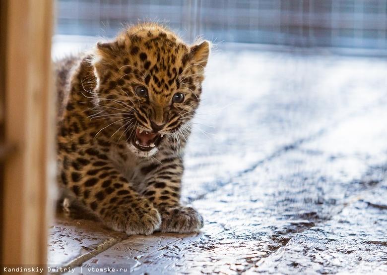 Пятнистое пополнение: детеныши леопарда родились в зоопарке Северска