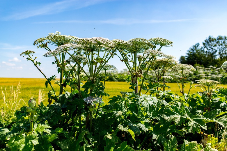 Более 100 га в томском селе заросло ядовитым сорняком — борщевиком