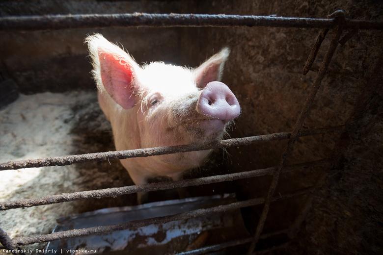 Поголовье свиней увеличилось в Томской области почти на 10%