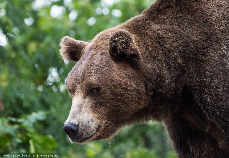 Охотовед рассказал о ситуации с медведем, который вышел к Томску