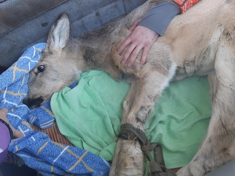 Молодая косуля, найденная на территории томского аэропорта, март 2020г