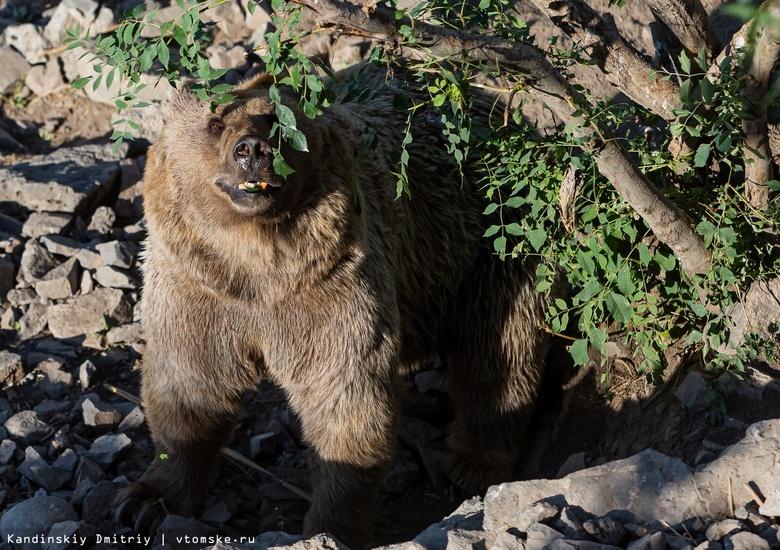 Охотники выслеживают медведя, который пришел в село Томского района