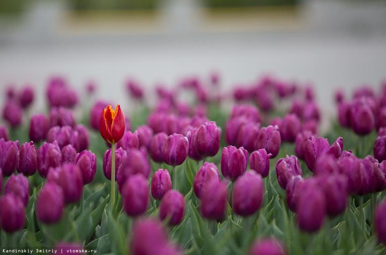 Тюльпаны, ирисы, петунии и бархатцы украсят Томск летом 2017 года