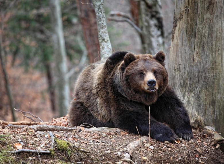 Медведи в поисках пищи начали заходить на нефтяные месторождения Томской области