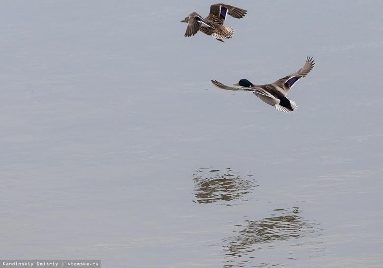 Власти: новые параметры охоты не повлияют на популяцию птиц в Томской области