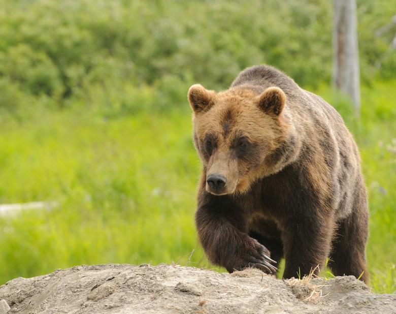 Стали известны подробности нападения медведя на охотника в Томской области