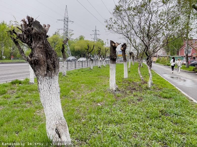 Депутаты гордумы решили запретить побелку деревьев в Томске