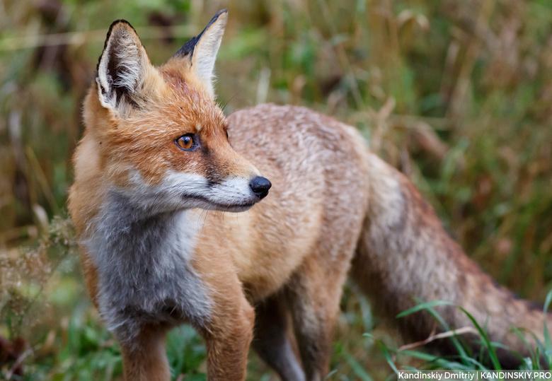 Карантин по бешенству введен в томском селе после визита больной лисы