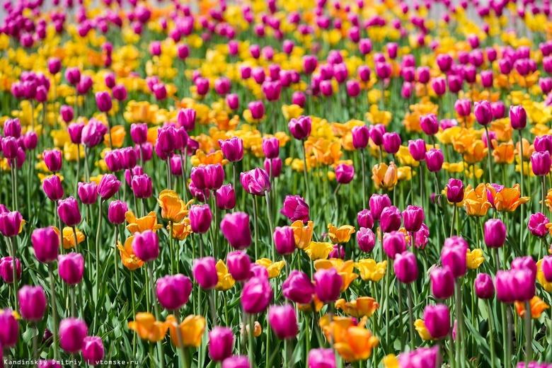 Порядка 25 тыс тюльпанов расцветут на томских клумбах весной