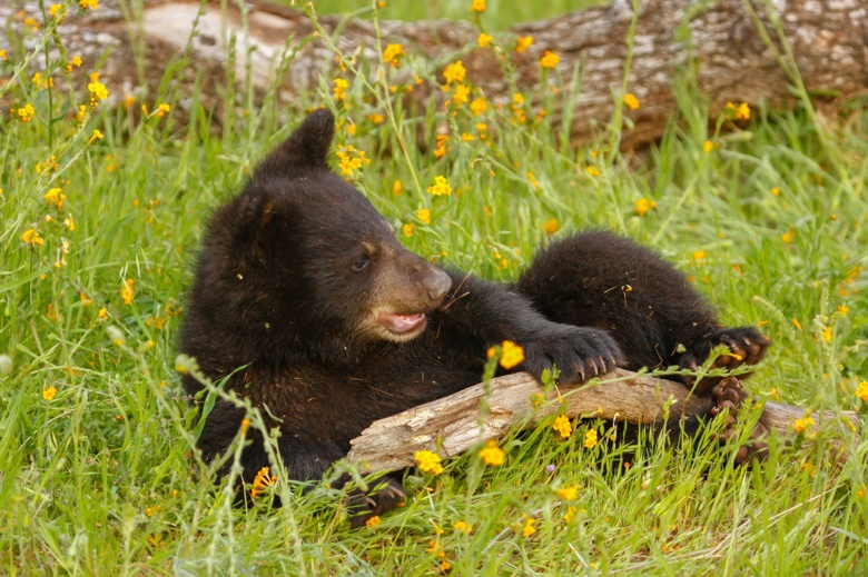 Охотники убьют годовалого медвежонка, гуляющего по полям под Томском