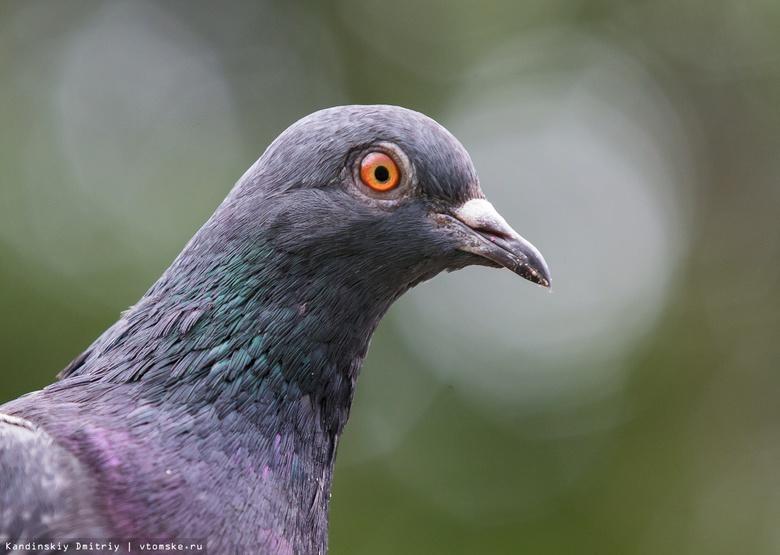 Томичу грозит 5 лет тюрьмы за кражу 6 голубей
