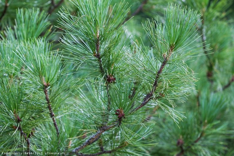 Специалисты выявили очаги шестизубчатого короеда в Плотниковском кедраче