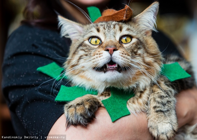 Робин Гуд, тюлень Василиса и Беззубик: в кого превратились коты на томской выставке