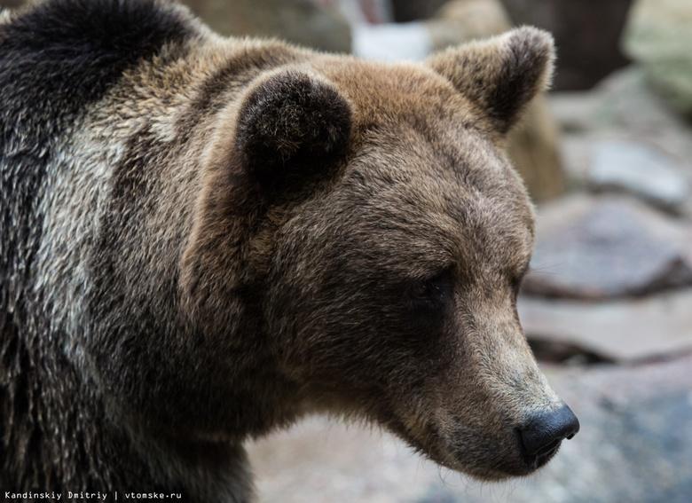 Медведь вновь появился возле томского поселка Трубачево