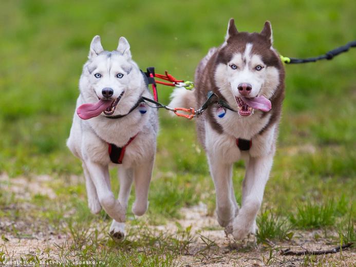 В гонках на собачьих упряжках победили спортсмены из Новосибирска (фото)