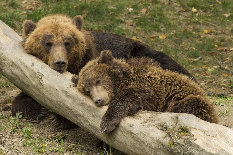 Медведицу с медвежатами заметили на полигоне в Александровском районе