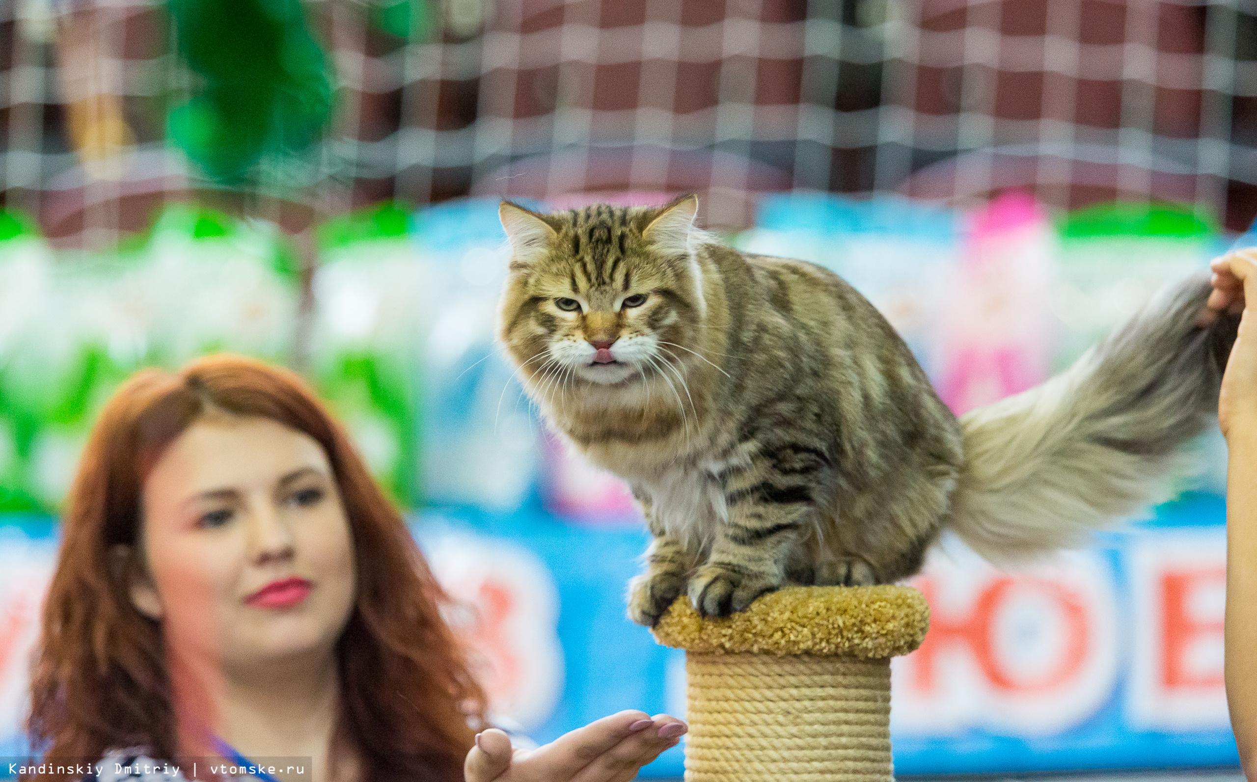 Джентльмен, Кармен и моряк: выставка кошек открылась в Томске