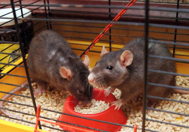 Томские ученые заставят мышей бегать, чтобы найти новый способ лечения диабета