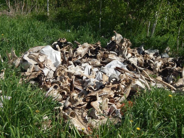 Член штаба Навального обнаружил свалку останков крупного рогатого скота под Томском