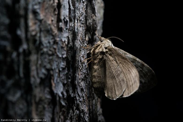 Власти: эффективность борьбы с шелкопрядом в томских лесах в 2018г превысила 90%
