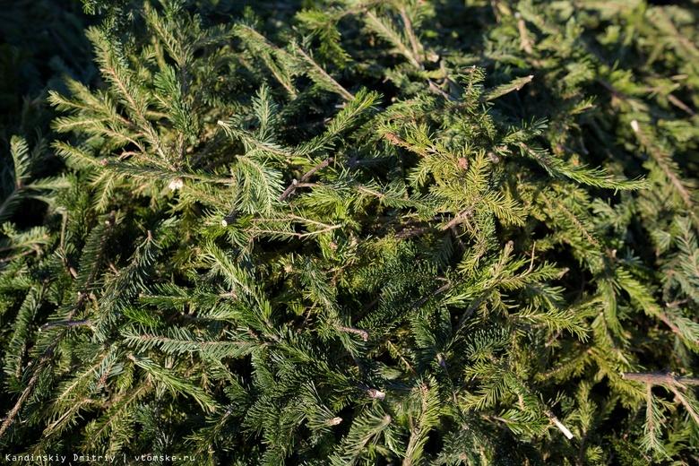 Жителю Томской области грозит до 2 лет тюрьмы за вырубку 38 новогодних елок