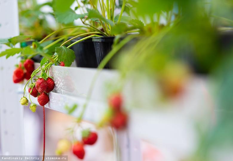 Первый урожай: ученые ТПУ представили «умную» теплицу