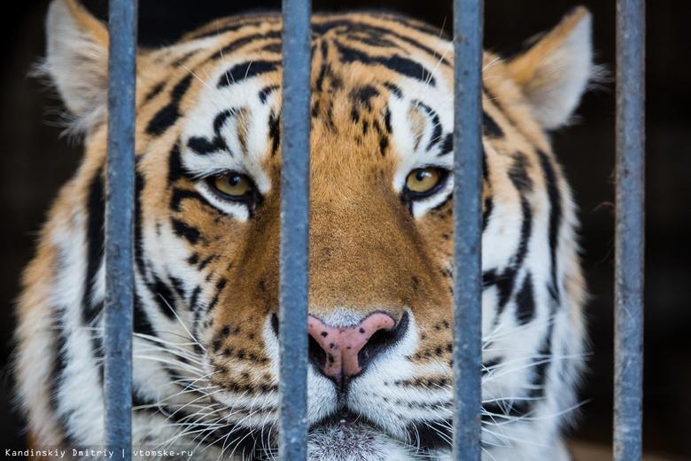 В США зарегистрировали первый случай заражения COVID-19 у тигра