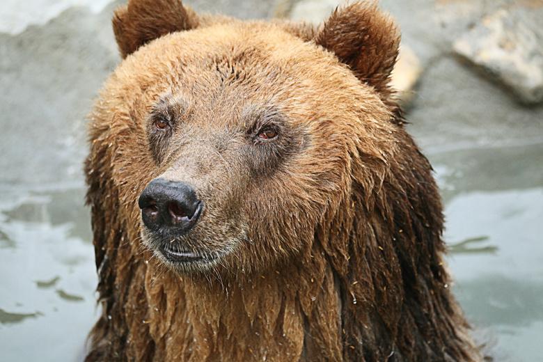 Медведя с трихинеллезом в Томской области добыли охотники из Новосибирска