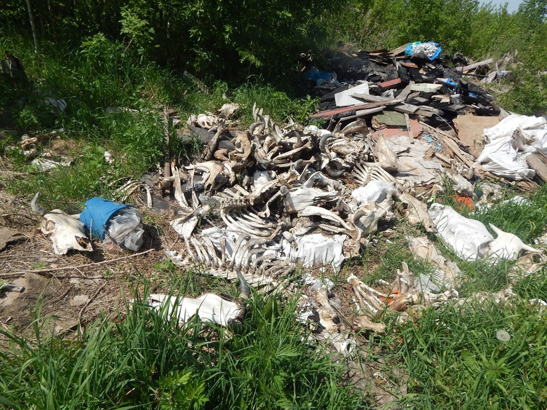 Ветинспекторы не смогли установить владельца останков КРС, найденных под Томском